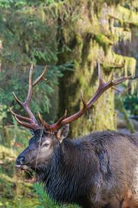 A Roosevelt elk (Cervus elaphus roosevelti) bull. Taken in the Hoh Rain Forest, Olympic National Park, Washington, USA.