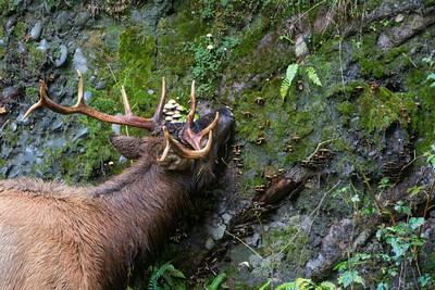 A Roosevelt elk (Cervus elaphus roosevelti) bull, dining on a salad of wild mushrooms. Taken in the Hoh Rain Forest, Olympic National Park, Washington, USA.