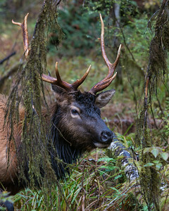 """""""Rutting In the Rainforest""""  We were treated to some very nice time with this  Roosevelt elk (Cervus elaphus roosevelti) bull. He was quite hormonal, but paused long enough to get his portrait taken. This is an image from the Hoh Rain Forest, Olympic National Park, Washington, USA."""