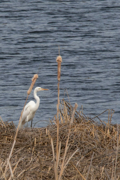 Egret, Columbia National Wildlife Refuge, Othello, WA