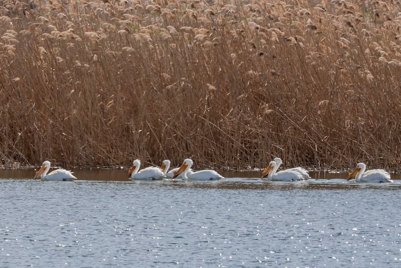American White Pelican, Columbia National Wildlife Refuge, Othello, Washington