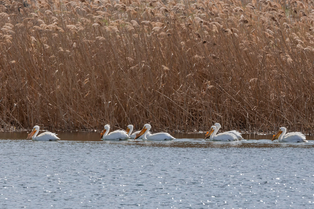 American White Pelican, Columbia National Wildlife Refuge, Othello, Washington