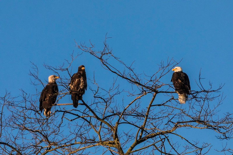 Two adult Bald Eagles with a juvenile eagle, Padilla Bay Shoreline