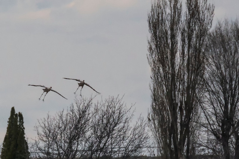 Landing gear down, Sandhill Cranes, Othello, WA