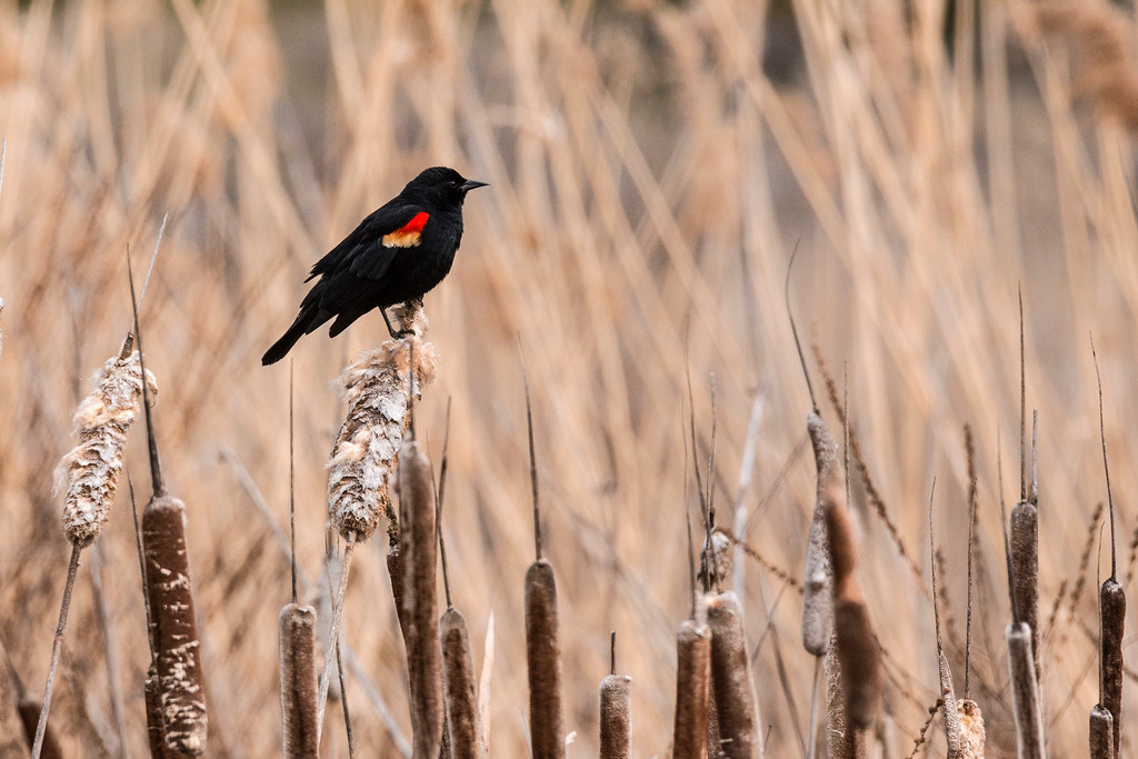 Red Wing Blackbird, Columbia National Wildlife Refuge, Othello, WA