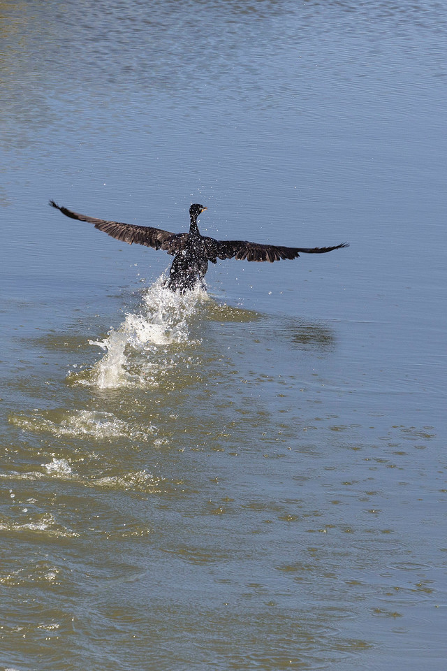 Cormorant taking flight, Tule Lake National Wildlife Refuge, CA