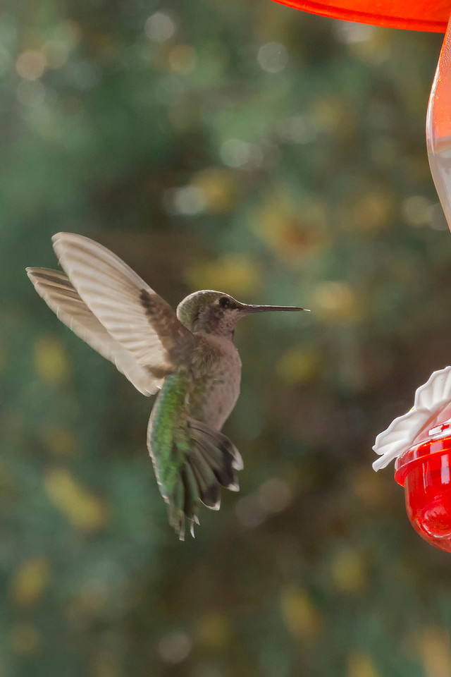 Hummingbird with tongue out