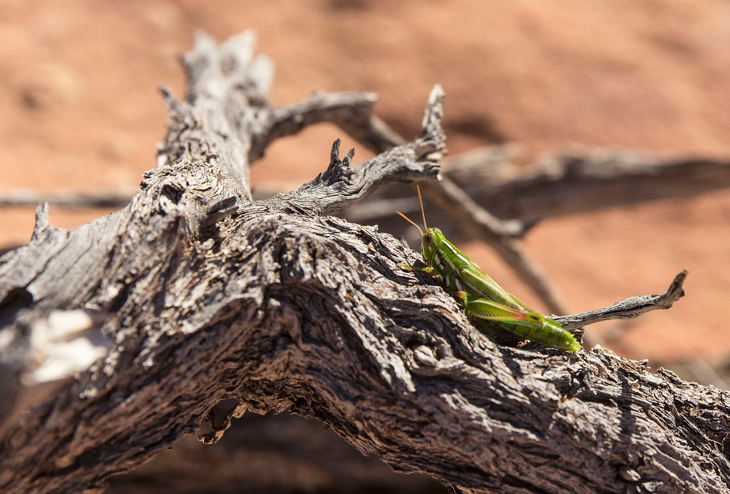 Grasshopper, Coyote Butte South, Vermillion Cliff Nat Mon, Arizona