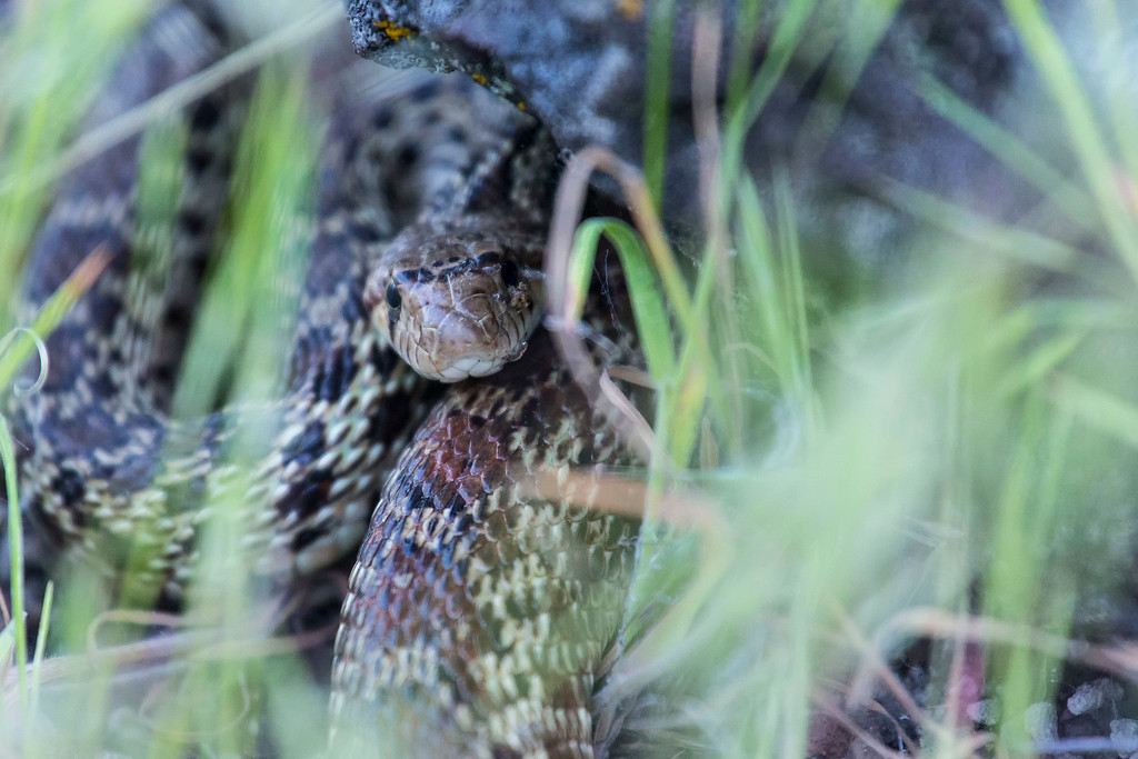 Gopher Snake, Lava Beds National Monument, CA