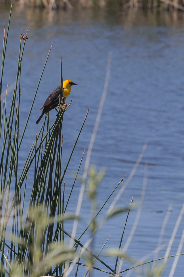 Yellowheaded Blackbird, Tule  Lake National Wildlife Refuge, CA