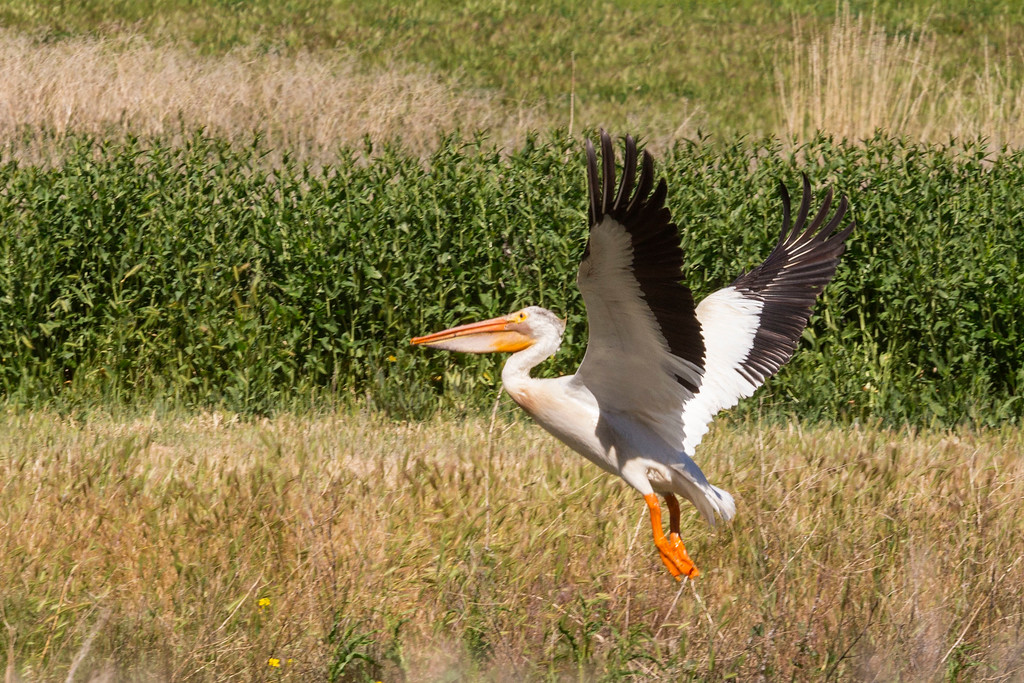 American White Pelican, Tule Lake National Wildlife Refuge, CA