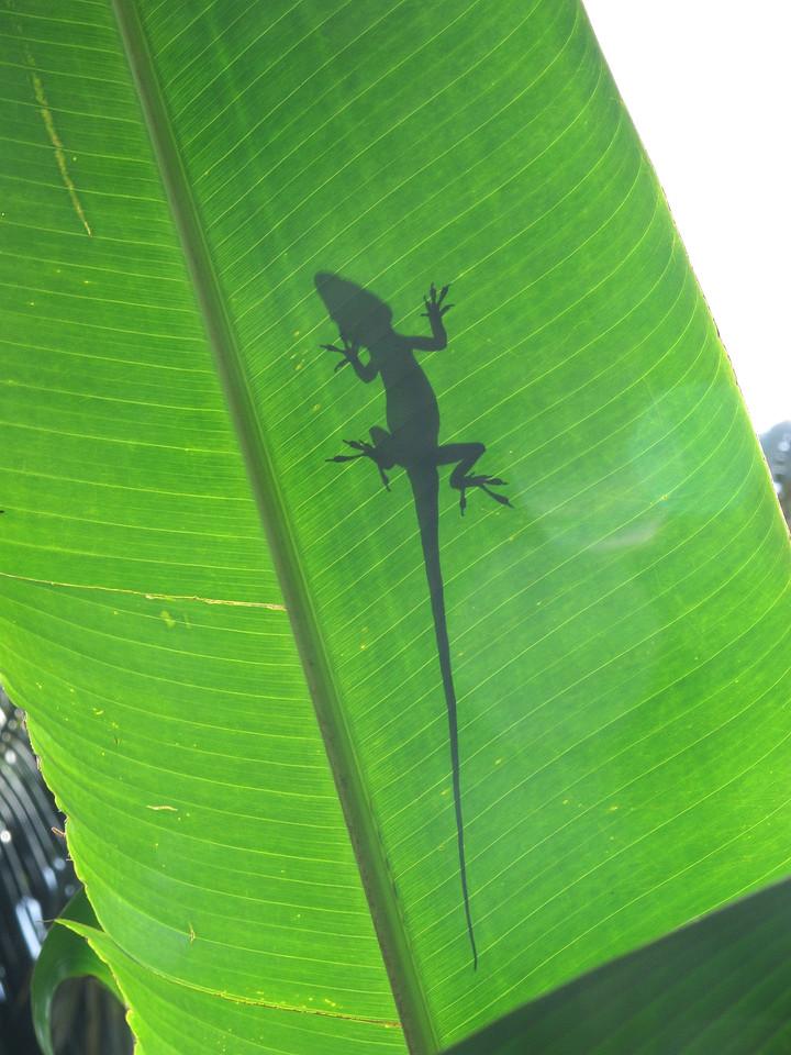 Silhouette of a Gecko, Kauai
