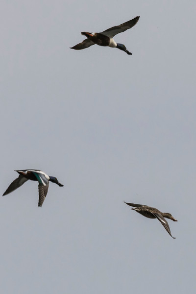 Northern Shoveler Ducks, Columbia National Wildlife Refuge, Othello, WA