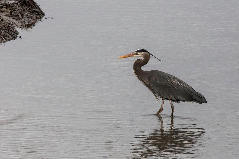 Heron, Skagit Wildlife Reserve, near Mt Vernon