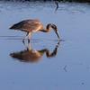 Heron, Skagit Wildlife Reserve, near Mt Vernon, WA