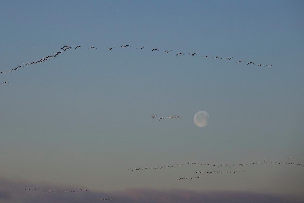 Geese, Skagit Wildlife Reserve, near Mt Vernon, WA