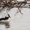 Buffle Head Duck, Skagit Wildlife Reserve, near Mt Vernon, WA