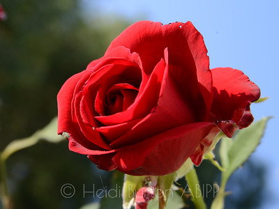 Red Rose by Heidi Burton, Weston-super-Mare Photographer