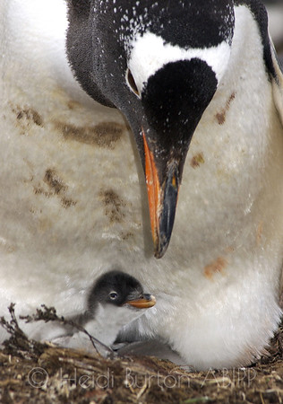 Gentoo penguin and hours old chick on Sealion Island, Falkland Islands by Heidi Burton, Weston-super-Mare Photographer
