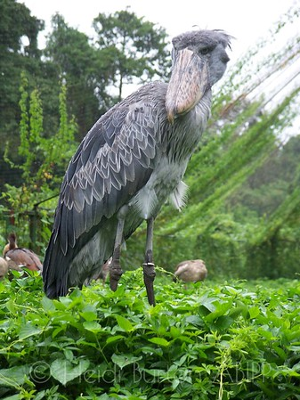 Shoebill bird in Uganda by Heidi Burton, Weston-super-Mare Photographer