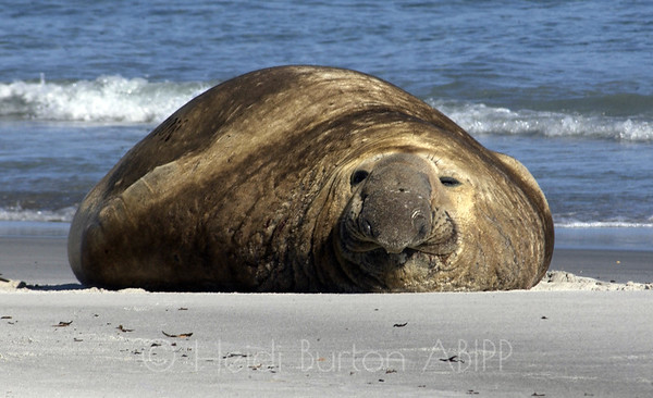 Elephant seal by Heidi Burton, Weston-super-Mare Photographer