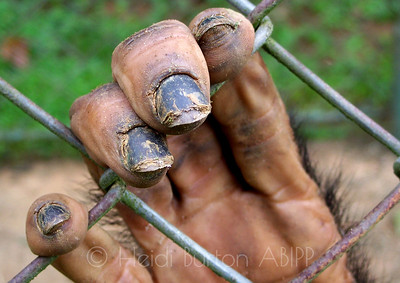 chimp hand by Heidi Burton, Weston-super-Mare Photographer