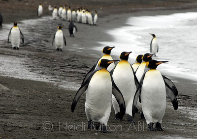 King Penguins stroll along the beach at St Andrews Bay, South Georgia, Antarctica by Heidi Burton, Weston-super-Mare Photographer