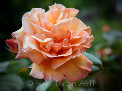 Peach rose by Heidi Burton, Weston-super-Mare Photographer