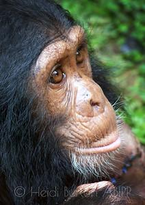 Nipper the chimp, a rescue animal at the Ugandan Wildlife Education Centre, Entebbe, Uganda by Heidi Burton, Weston-super-Mare Photographer