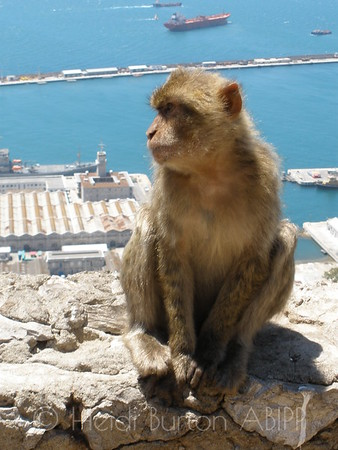 Barbary Ape in Gibraltar by Heidi Burton, Weston-super-Mare Photographer