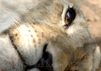 Lion cubs eye by Heidi Burton, Weston-super-Mare Photographer