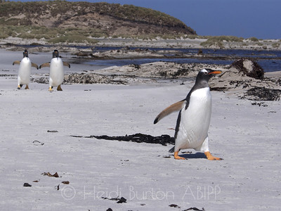 Gentoo penguins by Heidi Burton, Weston-super-Mare Photographer