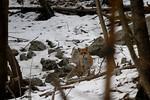 Vulpes Vulpes (red fox / volpe)