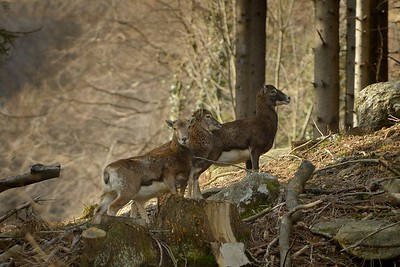 Ovis musimon (mouflon / muflone) - group of females