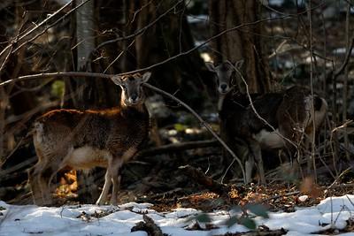 Ovis musimon (mouflon / muflone) - females