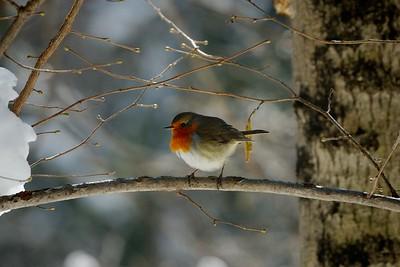 Erithacus Rubecula (european robin / pettirosso)