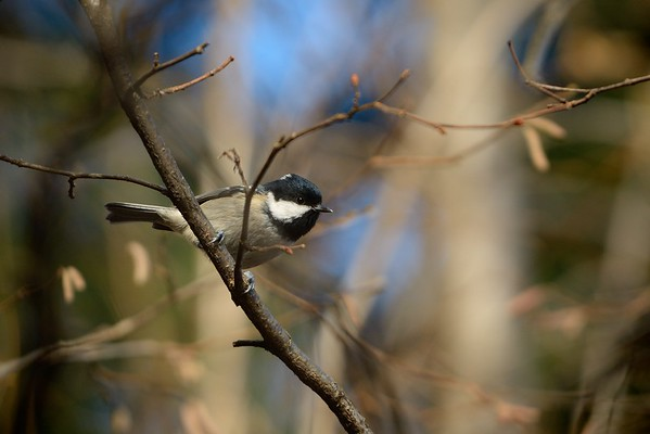Parus Major (great tit / cinciallegra)