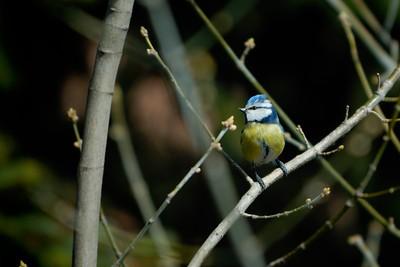 Parus Caeruleus (Eurasian blue tit / Cinciarella)