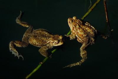 Bufo Bufo (toad / rospo)