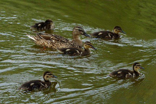 Anas platyrhynchos (mallard / germano reale) mum with cubs