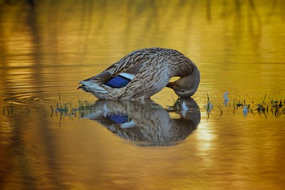 mallard in the golden hour