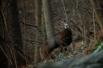 Ovis musimon (mouflon / muflone) - female