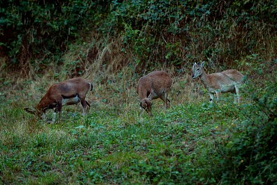 Ovis musimon (mouflon / muflone) - a group formed by a young male (left) an old female (center) and a male cub (right)