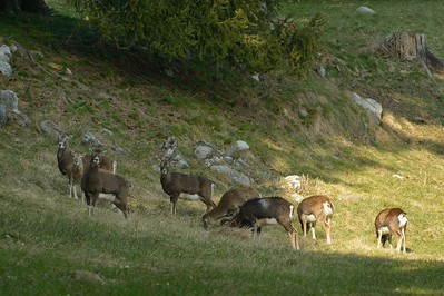 Ovis musimon (mouflon / muflone) - group of females and cubs
