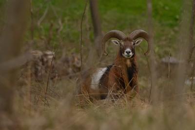 Ovis musimon (mouflon / muflone)
