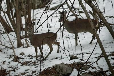 Capreolus capreolus (roe deer / capriolo) - couple