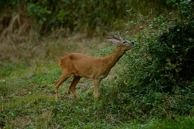 Capreolus capreolus (roe deer / capriolo) - male eating blackberries in summer