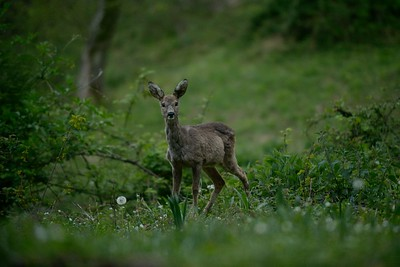 Capreolus capreolus (roe deer / capriolo) - young female