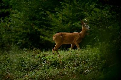 Capreolus capreolus (roe deer / capriolo) - male