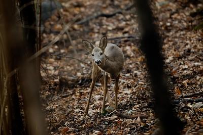 Capreolus capreolus (roe deer / capriolo) - female